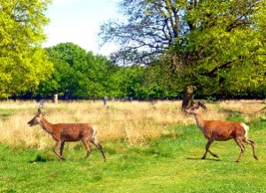 Deer, Richmond Park